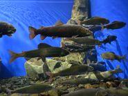 Рыбы Байкала в аквариуме