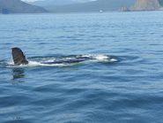 Спина кита в воде