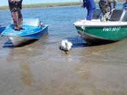 Пеликан на Волге
